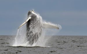 Splish, a humpback whale that was first photographed in 1980, jumps out of the water.